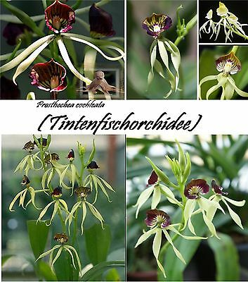 25x Octopus Orchid Flower Seeds Eye-catcher Plant Rare Flowers # 76