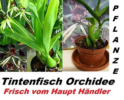 1x Octopus Orchid Plant Eye-catcher RARE House plant Orchids Fresh 1A