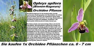 1x Bee Orchid Ophrys apifera Orchid Plant Eye-catcher House plant New