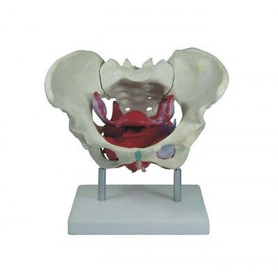 Female Pelvis with Muscles and Organs - Educational Anatomy Model