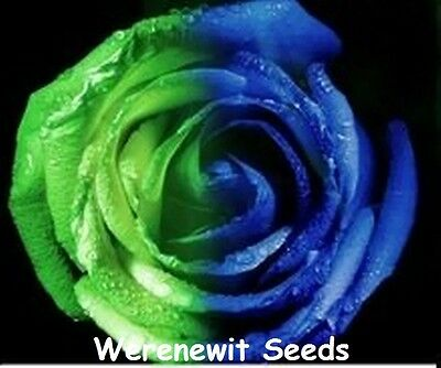 20 x NEW FRESH RARE EXOTIC HALF GREEN-BLUE ROSE SEEDS,FREE POST,AUSSIE SELLER..