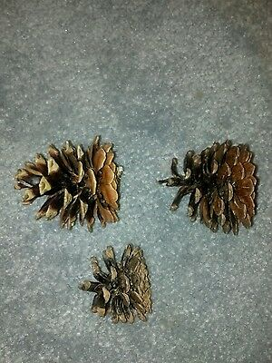 Japanese Black Pine Tree Pine Cones; Lot of 50 for wreathes, natural decorations