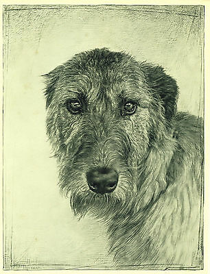 RARE Vintage OLD Dog Art Print 1935 Irish Wolfhound Dog Gorgeous Realistic Eyes
