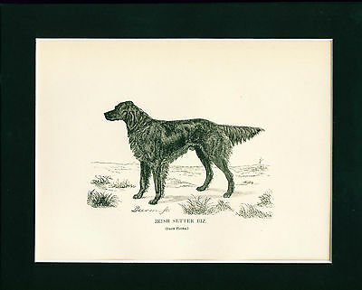 ANTIQUE Dog Print 1882 Irish Setter named BIZ