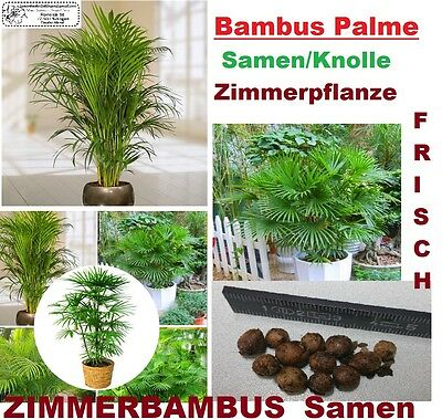 5x Bamboo Palms House Plant Seeds Tuber Bamboo Room Fresh Seed New #261