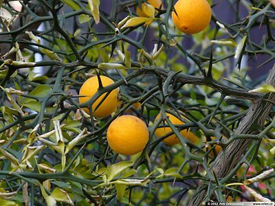 Poncirus Trifoliata - Japanese Bitter Orange (15 Seeds)