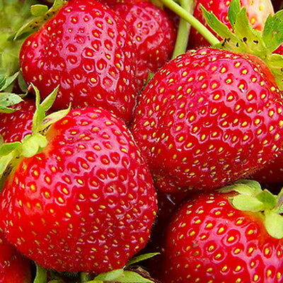Alpine Strawberry Rugen (300 Seeds)