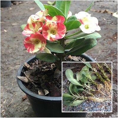 Euphorbia milii 1 Rooted Plant Crown of Thorns ''Lukmai'' From Thailand