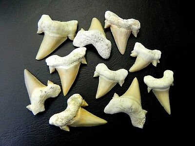 "1 "" - 1 3/4 "" Small Otodus Shark Tooth 10 Pcs Moroccan Fossil Teeth"