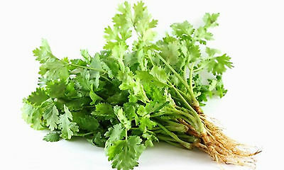 1 Packet of Thai Coriander, CORIANDRUM SATIVUM Pak Chee, Thai Cilantro