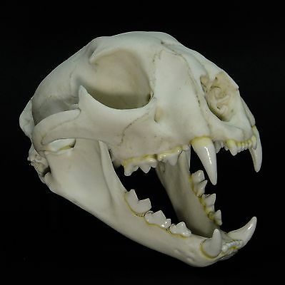 Cougar Skull Replica (Real Size) Known As: Puma, Panther And Mountain Lion