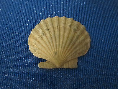 Scallop Sea Shell Fossil Collectible Antique  Home Decor  Crafts  Beach Item