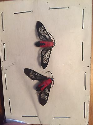 UNMOUNTED MOTH, RARE SCARLET BODIED WASP MOTH PAIR ! WOW! Cosmosoma Myrodora