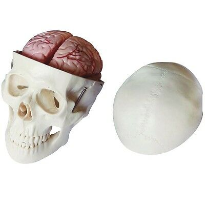 Skull Model with 8 Parts Brain - Anatomy Model
