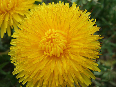 Dandelion, 200 seeds, Full of vitamins, Healthy, Herb