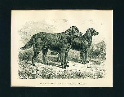 ANTIQUE Dog Print 1886 Flat Coated Retriever Dogs named PARIS and MELODY