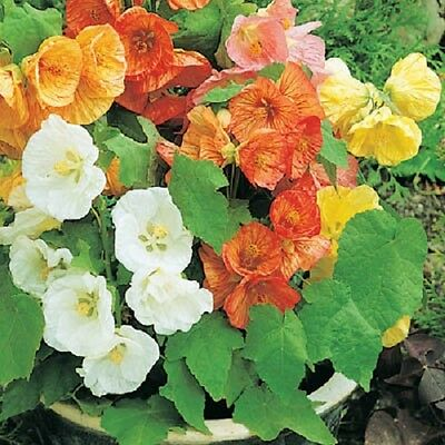 15+  Abutilon Flowering Maple Mix / Perennial Flower Seeds