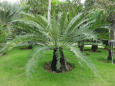 Cycas pectinata - 10 fresh cycad seeds