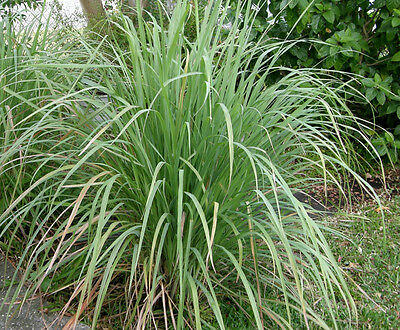 Lemongrass herb, 50 seeds, Used to make tea, Asian cooking, Medicinal