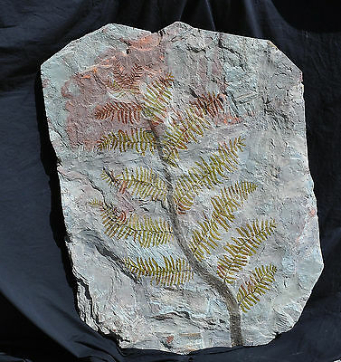 Museum Class Rare Fossil Complete Permian Fern All Fronds Odernhiem Germany