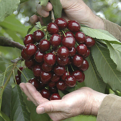 Stella Cherry Fruit Tree in a 5L Pot G5 Dwarf Rootstock for Patios and Pots