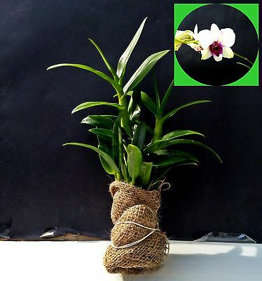 Dendrobium Phalaenopsis Orchid - size S