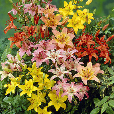 Colourful Mixed Asiatic Lilies Orange Yellow Red Pack Of 25 Bulbs