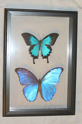 2 Real Butterfly Blue Morpho Didius , Ulysses Papilio Mounted Frame