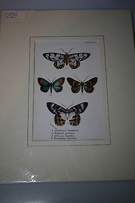 Antique Cromo-litho of four exotic butterflies, mounted print