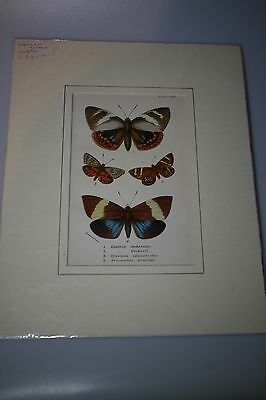 Antique Cromo-litho of four butterflies, mounted print