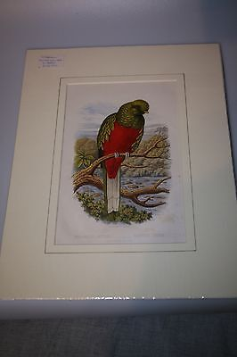 Antique Cassell cromo-litho of Beautiful Trogan Parrot