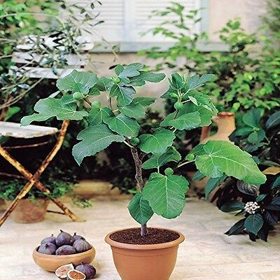 Fig Tree Pair Garden Patio Deck 2 Trees Outdoor Conservatory Edible Fruit Gift
