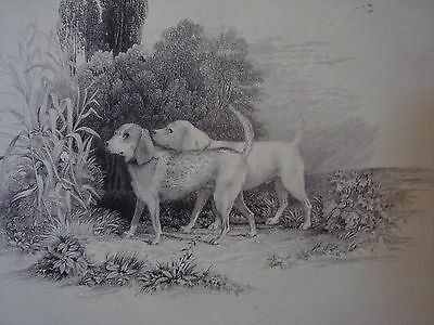 An Antique Engraving, Two Beagles, Hounds.