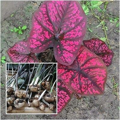 Caladium 1 Bulb Queen of the Leafy Plants /'/'Sriprat/'/' Colourful Tropical Thai