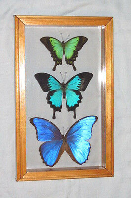 3 Real Butterfly Blue Morpho , Ulysses , Sea Green Swallowtail Mounted Frame