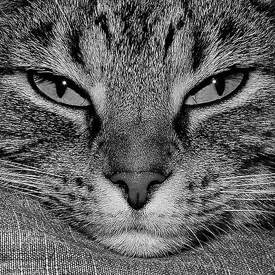 Cat Greeting Card Tabby Cat black-and-white image of face -  Blank Inside