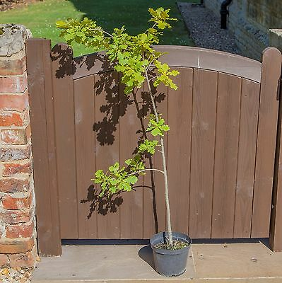 English Oak Tree Quercus robur in a 3L Pot 1m Tall Ready to Plant