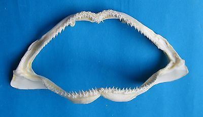 """8 7/8"""" Whitetip Reef  Shark jaw   teeth mouth taxidermy shark jaw Mix-549"""