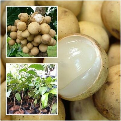 Longkong Lansium Domesticum Tree Plant Grafted Fruit From Thailand Tall 20''