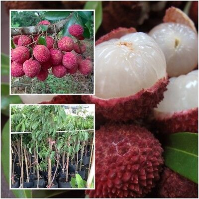 Lychee Litchi Chinensis Tree Plant Grafted Fruit Tropical From Thailand 20''