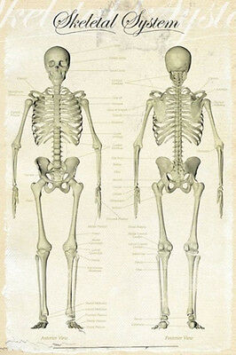 HUMAN BODY SKELETAL SYSTEM POSTER (91x61cm) MEDICAL CHART PICTURE PRINT NEW ART