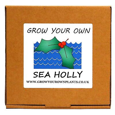 Grow Your Own Sea Holly Plant Kit - Birthday or Christmas Gardening Gift