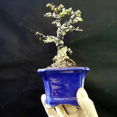 Micro Bonsai - Portulacaria afra-10 year old plant -For  professionals