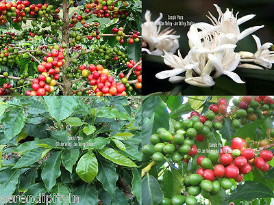 "Coffea Arabica Hawaiian Kona Coffee Seeds ""KONA"" Star White Blossoms Robust"