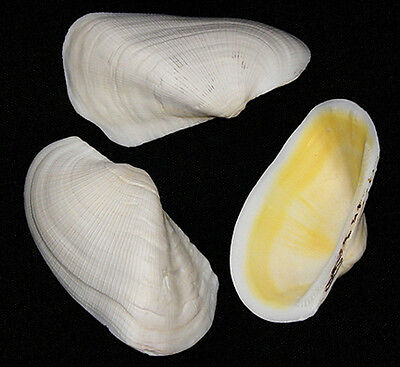 """Twisted White Claim Shell Half ~ Pecten,Scallop,Cockle (3"""") Select 3,6,12 Pcs."""