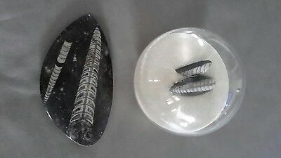 orthoceras  fossil in sand in  glass globe & orthoceras fossil