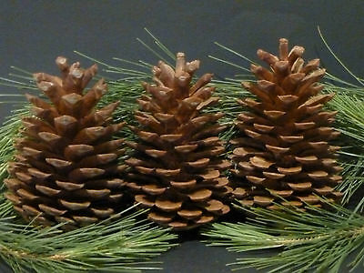 Pine cones 19 GIANTS Natural Pinecone Christmas Decorations Craft Ideas