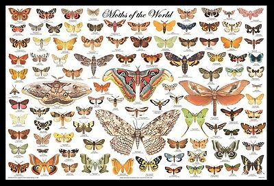 (Framed) Moths Educational Id Poster 66X96Cm Print Picture