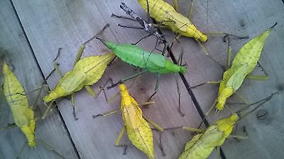 ADULT Female Yellow jungle nymphs heteropteryx dilatata stick leaf insect spider