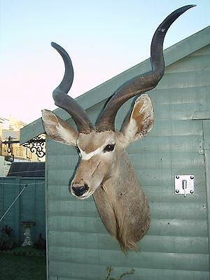 taxidermy african kudu head and shoulder mount